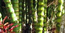Ornamental Bamboos - Giant Buddhas Belly