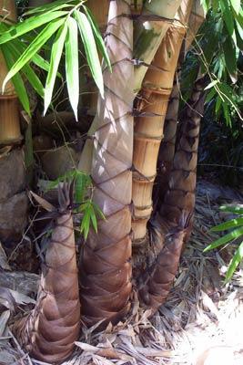 Giant Asper/Indonesian Asper | Bamboos Wholesale