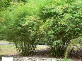 Bambusa mulitplex - Willowy Bamboo