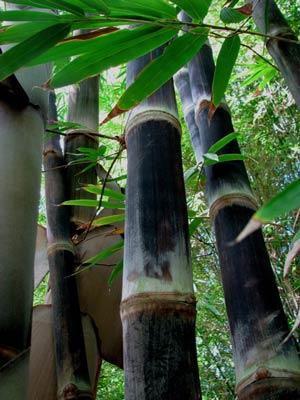 Black Asper | Bamboos Wholesale