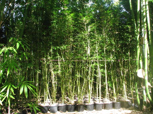 Gracilis Slender Weavers Bamboo Bamboos Wholesale