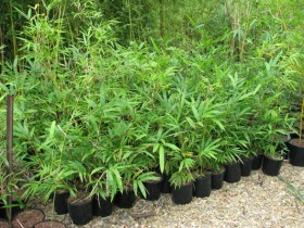 Malay Dwarf Bamboo in 200mm pots.