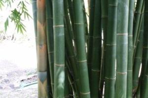 Taiwan Giant - Dendrocalamus latiflorus