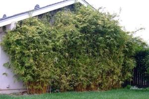 Alphonse Karr – Bambusa multiplex