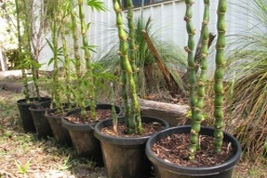 Buddha's Belly Bamboo in 250mm & 300mm Pots