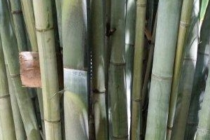 Ghost Bamboo