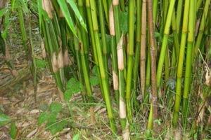 GoldStripe Bamboo Culms