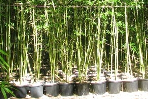 Gracilis Bamboo in 300mm Pots.
