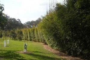 Gracilis Bamboo planted along Driveway