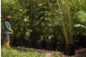 Gracilis Bamboo available in 100 Litre Bags