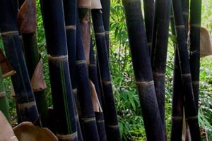 Java Black Bamboo Culms
