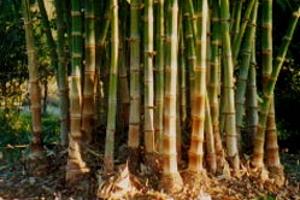 Maroochy Bamboo