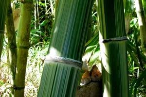 Maxima Bamboo Culms