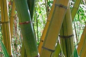 Mei Nung - Dendrocalamus latiflorus 'Mei Nung'