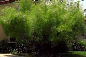 Mexican Weeping Bamboo in Landscaping.