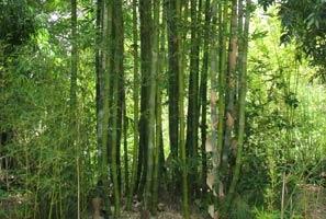 Oldhams Bamboo