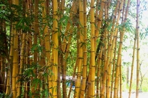 Painted Bamboo in Landscape