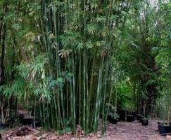 Bambusa textilis - Weavers Bamboo