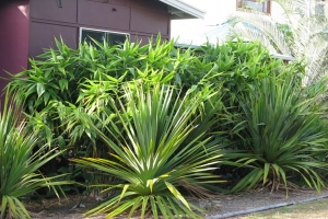Tiger Grass planted in Landscaping