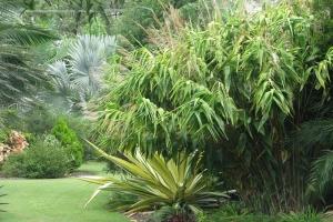 Tiger Grass Ornamental Planting