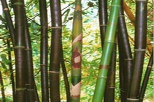 Timor Black Bamboo Culms
