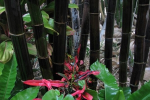 Timor Black bamboo in Close up.