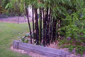Timor Black Bamboo in Garden.
