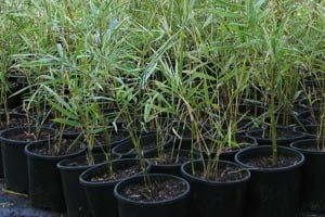 Variegated Malay Bamboo in 200mm Pots