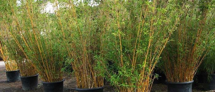 How To Buy Bamboo Plants Bamboos Wholesale
