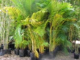 45Lt Golden Cane Palms